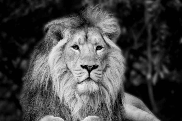 Beautiful Black And White Portrait Of Asiatic Lion Panthera Leo Persica